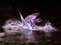 Two Gulls 1 (bonksie61) Tags: white water gulls splash naturesbest twogulls yabbadabbadoo flickrstars flickraward almostanything shining★star royalgr☮up