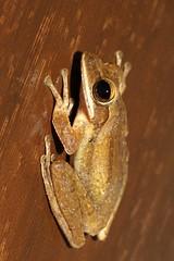 Polypedates leucomystax (mgrimm82) Tags: thailand asia frog phuket animalia anura amphibia chordata rhacophoridae naithonbeach commontreefrog goldentreefrog taxonomy:class=amphibia taxonomy:order=anura taxonomy:kingdom=animalia taxonomy:phylum=chordata polypedatesleucomystax polypedates fourlinedtreefrog taxonomy:family=rhacophoridae taxonomy:genus=polypedates taxonomy:binomial=polypedatesleucomystax asianbrowntreefrog taxonomy:common=commontreefrog taxonomy:species=leucomystax taxonomy:common=asianbrowntreefrog taxonomy:common=fourlinedtreefrog taxonomy:common=goldentreefrog inaturalist:observation=584077