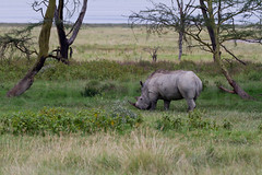 White Rhinocerous (robsall) Tags: africa nature animal animals mammal kenya wildlife rhino nakuru riftvalley whiterhino whiterhinoceros lakenakuru ceratotheriumsimum wildlifephotography grassrhinoceros robsall grassrhino