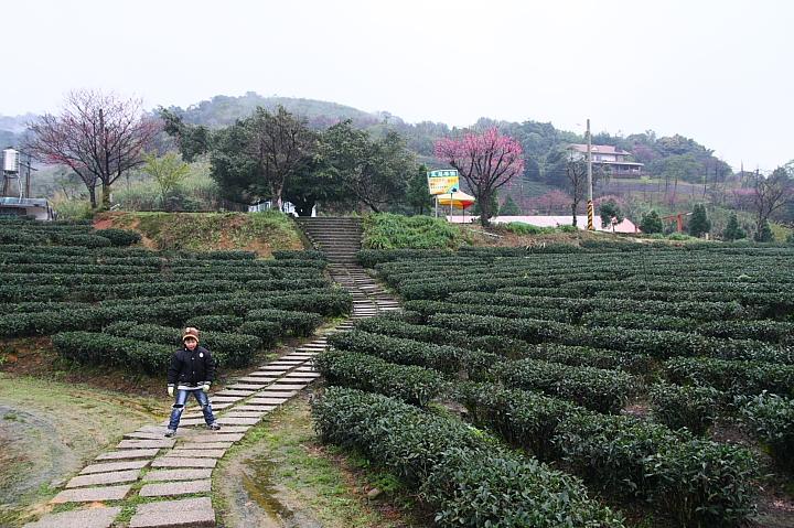 玉蘭茶園櫻花0006