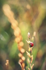 Ladybug in Bokehland (ms holmes) Tags: red rot field rouge rojo feld depthoffield ladybug gras coccinelle marienkfer halm shallowdof mariquita canoneos1000d proagainyay