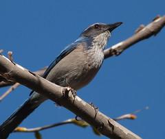 Western Jay (csuzanne - off/on) Tags: blue macro bird wings ngc beak feathers westernjay dailynaturetnc12