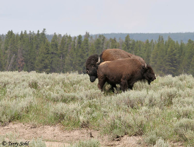 American Bison Pair, Yellowstone National Park