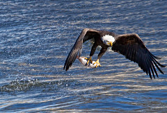 Second Chances (w4nd3rl0st (InspiredinDesMoines)) Tags: wild brown white nature water canon amazing fishing eagle outdoor hunting baldeagle diving iowa talon 7d mississippiriver powerful 2012 intensity quadcities swooping 100400 leclaire eaglefestival eaglewatching lockanddam14