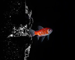 O B S !! =$ , +1 (F l S f a h .. ) Tags: white fish black water canon s shy h f micro l 100 splash     orangesplash       flsfah