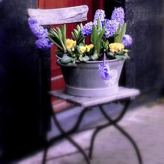 Spring is at the door (oriana.italy) Tags: flowers spring chair x fd orianaitaly hyacinthschest giacintiviola jacinthesmauves superbigot