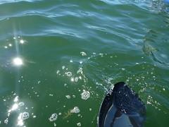 Swan River white jellyfish - Aurelia Aurita (Figgles1) Tags: white river bay swan jellyfish kayak vision kayaking finn gizmo aurelia westernaustralia swanriver kayaks freshwater freshwaterbay aureliaaurita aurita p1020875 finngizmo finngizmovision
