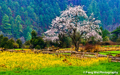 Wild Peach Tree @ Bome, Tibet (Feng Wei Photography) Tags: china travel wild vacation flower color colour tourism nature floral beautiful beauty horizontal rural season landscape countryside spring scenery colorful asia tour view outdoor vibrant seasonal scenic vivid peaceful tranquility tibet serenity vista serene tranquil peachtree bome rapeseed peachflower rapeseedflower gettychinaq2