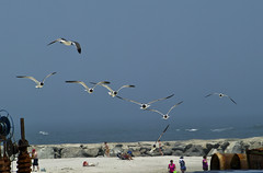 flying in formation...almost (blind squirrel snapography) Tags: ocean beach birds jerseyshore avalon