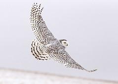 4571 Snowy in flight (Mark Williams Photographer) Tags: owls snowyowlinflight winterowlsnowyowlowlsinflightwinterowlscene