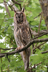gufo (taronik) Tags: alberi natura uccelli animali gufo cacciafotografica blinkagain allofnatureswildlifelevel1 allofnatureswildlifelevel2 allofnatureswildlifelevel3