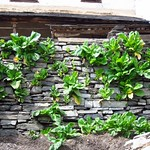 "Lettuce in a Stone Wall <a style=""margin-left:10px; font-size:0.8em;"" href=""http://www.flickr.com/photos/14315427@N00/6992636757/"" target=""_blank"">@flickr</a>"