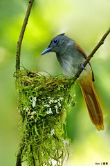 (Explored) Asian Paradise Flycatcher #5 (kengoh8888) Tags: green asian paradise nest pentax background ngc egg clean npc hatch k5 nesting flycatcher
