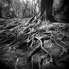 (trick75) Tags: blackandwhite bw tree 120 6x6 film woodland holga woods trix grain roots hc110 epson hp5 westwood ilford rooted 120n v500 filmisnotdead dilutionh
