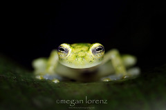 Glass Frog (Megan Lorenz) Tags: travel wild nature closeup rainforest costarica wildlife amphibian frog getty february centralamerica 2012 riparian arboreal glassfrog reticulatedglassfrog centrolenidae mlorenz meganlorenz photocontesttnc12