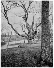 1500 (flavijus) Tags: film oak pinhole 4x5 1500 foma lietuva zarasai ąžuolas azuolas fomafilm stelmuze stelmužės stelmužėsąžuolas