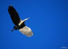 Flight (Franco DAlbao) Tags: blue sky bird animal azul wings flight feathers ave cielo alas vuelo plumas greyheron garzareal nikond60 dalbao francodalbao