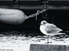 La gabbianella (PietroEsse) Tags: sea stilllife seagull sealife gabbiano castellammaredistabia canonpowershots3is