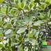 Bakau pasir (Rhizophora stylosa)