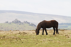 The four legged spirit of the Moor (smir_001 (on/off)) Tags: wild england horse english nature silhouette landscape spring rocks may pony devon british tor moor dartmoor equine haytor dartmoornationalpark southdartmoor canoneos7d haytordown smallacombe