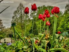 Tulpen (GerWi) Tags: sky plants tulips outdoor blossoms pflanze pflanzen himmel beet blume bume garten tulpen blten blumenbeet