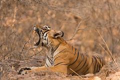 ADS_0000104632 (dickysingh) Tags: wildlife tiger tigers ranthambore indianwildlife ranthambhorenationalpark
