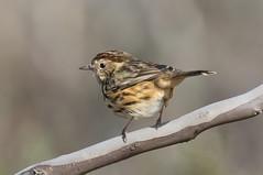 speckled warbler (Pyrrholaemus sagittatus)-8323 (rawshorty) Tags: birds australia canberra campbell act rawshorty