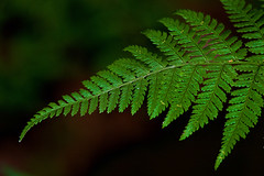 turn for a fern (avflinsch) Tags: plant fern green leaf natural 500px ifttt
