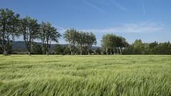 Au bord de la route * (Titole) Tags: trees field barley perspective bluesky sycomore titole nicolefaton