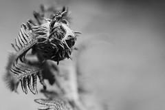 (Px4u by Team Cu29) Tags: pflanze farne farn knospe sporenpflanze