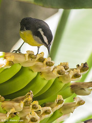 Eating Bananas - Cambacica / Banana quit (Wladimir Lopes) Tags: bird ave smallbirds bananaquit cambacica cagasebo sebinho papabanana