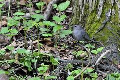 Gray Catbird (samurai66) Tags: county birds illinois spring gray kane catbird songbirds