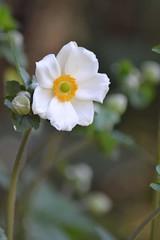 #flower #photobyme #photography #whiteflower (giulia.dusi) Tags: flower photography whiteflower photobyme