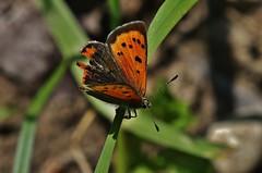 Kleine Feuerfalter - Lycaena phlaeas (Hugo von Schreck) Tags: macro butterfly falter makro schmetterling lycaenaphlaeas kleinefeuerfalter onlythebestofnature tamron28300mmf3563divcpzda010 canoneos5dsr hugovonschreck