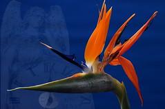 Bird of Paradise.. (Vivid_dreams) Tags: flowers blue abstract detail nature angel artistic digitalart digitalphotography digitalmanipulation abstractnature birdofparadiseflower natureportrait artisticmanipulation
