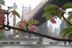 Spring in NYC (Pierrick M) Tags: bridge usa newyork flower tree fleur rio america river amrica manhattan flor rivire ponte eastriver pont arvore arbre bigapple rooseveltisland cherrytree cerisier queensborough fleuve queensboro amrique lgp3