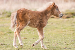 Foal (Pony) (Photography And Artwork of Melissa McCarthy) Tags: horse baby brown cute nature animal miniature outdoor farm wildlife pony tiny newborn foal