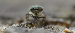 I don't know if it's just me.... (nick edge) Tags: macro eye nature bug insect fly nikon eyecontact dof bokeh wildlife insects bugs horsefly tregaron corscaron sigma105mm tregaronbog nikond7100