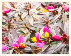 Garten W in W, buchs-kreuzblume (Polygala chamaebuxus) | 2015-04 (Brigitte Rieser) Tags: garden private spring jardin garten frhling privat polygala chamaebuxus buchskreuzblume