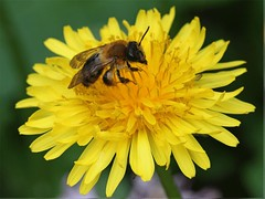 Miner bee feeding on dandelion animation (Lord V) Tags: macro bug insect bee andrena minerbee