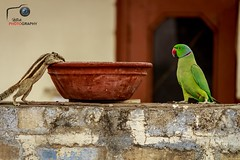 A indian palm squirrel and parrot (nitish22n) Tags: summer bird nature animal landscape squirrel indian parrot chipmunk thirsty