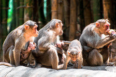 Nos anctres sont plus amicaux que nous. (- Ali Rankouhi) Tags: park india animals zoo monkey march bangalore thoughts national mind bannerghatta 2016   1395