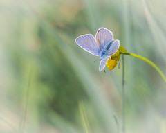 Common Blue resting on a Buttercup (microwyred) Tags: butterfly wildlife places commonblue trimpley