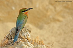 Blue tailed bee eater (Dr. Nishith Kumar Photography) Tags: travel india canon flickr bokeh background wildlife sigma safari bg lucknow nationalgeographic beeeater bestpic catchlight uttarpradesh littlebird birdphotography bluetailedbeeeater birdsofindia indianbirds nishith bestimage canon60d sigma150500 sigma150500mm birdsofuttarpradesh nationalgeographicworldwide sgpgi drnishithkumarphotography drnishith sgpgims