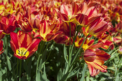 Sigurt Garden Park - The tulips bloom (RobertoFranchiniPhoto) Tags: park parco flower garden tulips bloom fiori vr giardino tulio tulipani sigurt fioritura