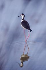 Black-winged stilt / Cigenuela comn (taylor_pj) Tags: bird ave albufera