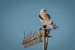Black-shouldered Kite  DSC_5738 (BlueberryAsh) Tags: bird animal nikon raptor werribee australianbird blackshoulderedkite westerntreatmentplant tamron150600