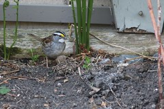 White-throated Sparrow 386A2095 (Philpete) Tags: whitethroatedsparrow