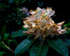 Moorlands (alh1) Tags: york england woods faded naturereserve rhododendron northyorkshire yorkshirewildlifetrust splittoning