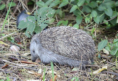 Northern white-breasted hedgehog (Marcell Krpti) Tags: cute mammal hungary hedgehog mammalia erinaceinae erinaceidae pszt sndiszn emls eulipotyphla erinaceusroumanicus northernwhitebreastedhedgehog keletisn